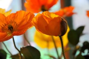 poppy in shadow