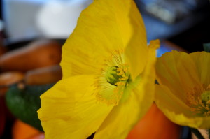 poppy in yellow