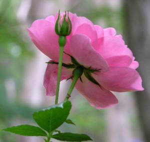 AA Pink rose